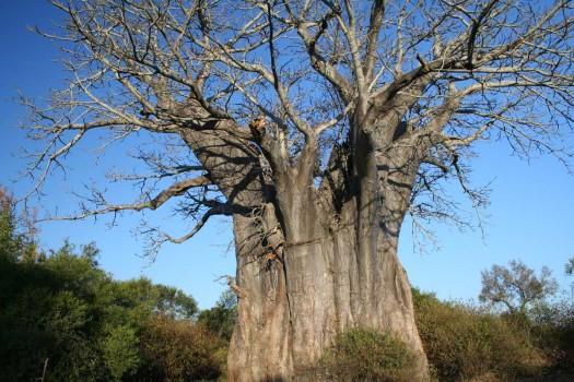 baobab-baum-8g1
